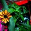 La NASA pubblica la fotografia del primo Fiore nato nello Spazio