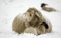 Il freddo delle pecore.