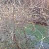 Fiorisce la Forsizia in Lombardia con ben 2 mesi di anticipo PRIMAVERA ormai, la natura lo conferma