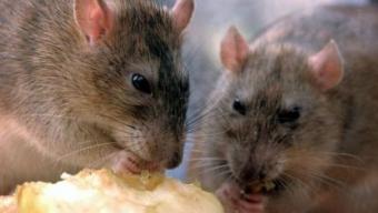 Invasione di topi in Australia